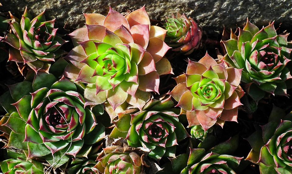 Sedum Plant perennial variety