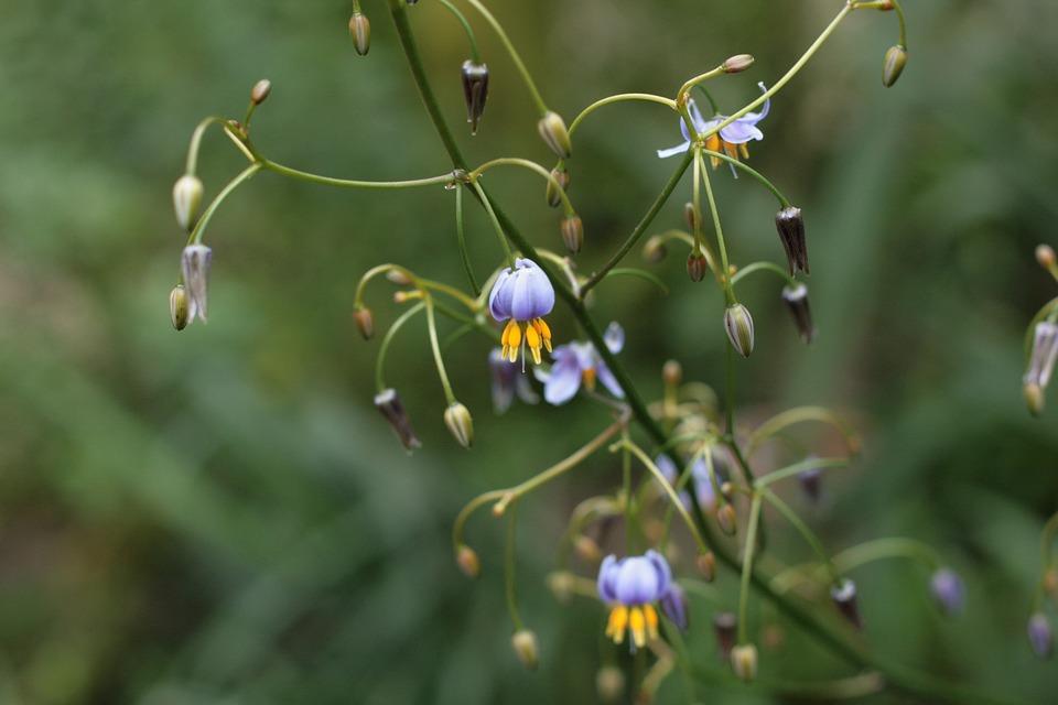 flowering dianella tasmanica revolute