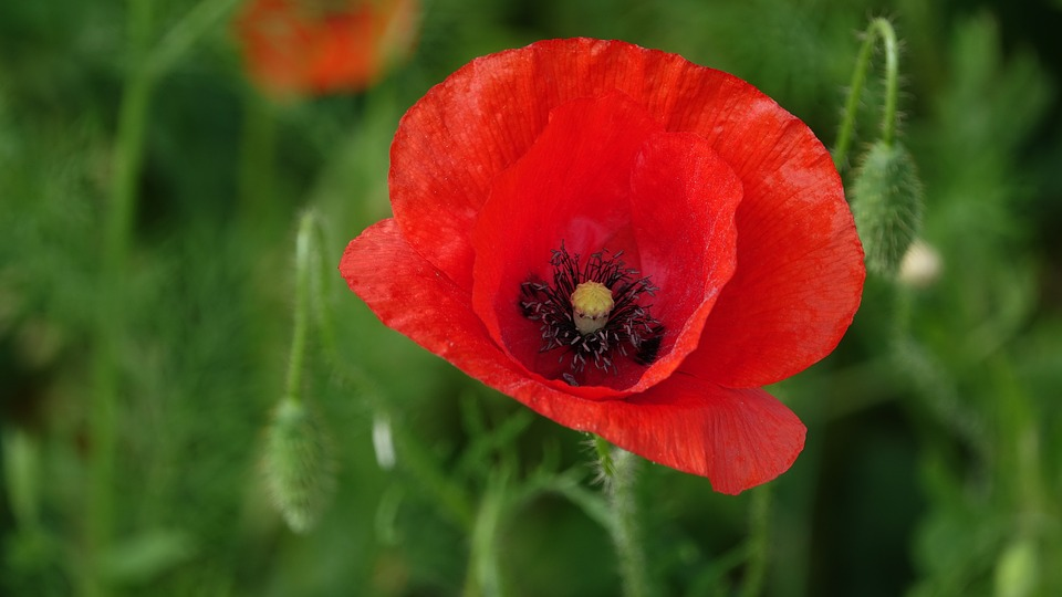 ephemerals example - the poppy flower