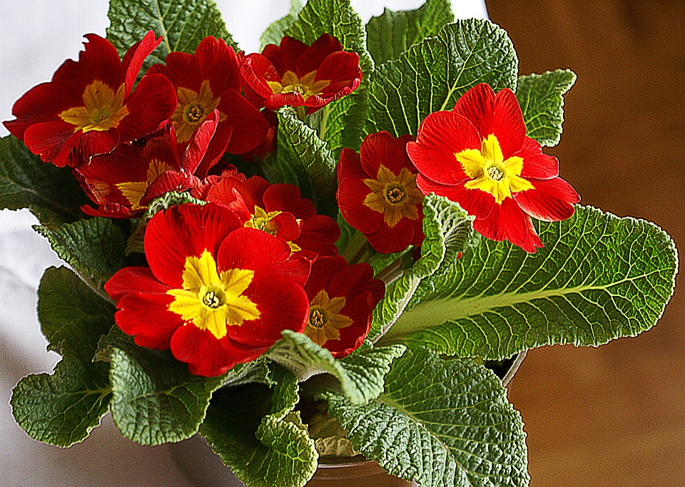 primrose flower bloom