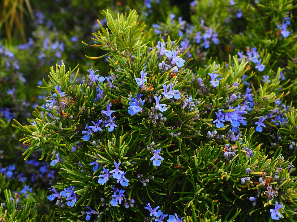 rosemary shrub in bloom