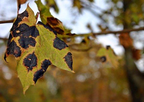 tar-stain-plant-disease